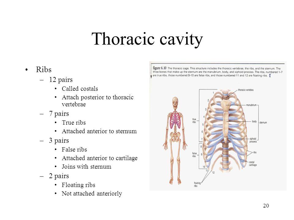 Thoracic cavity Ribs 12 pairs 7 pairs 3 pairs 2 pairs Called costals