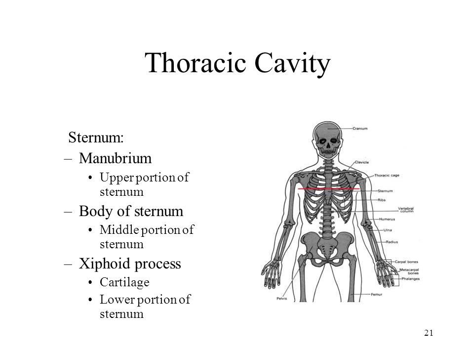 Thoracic Cavity Sternum: Manubrium Body of sternum Xiphoid process