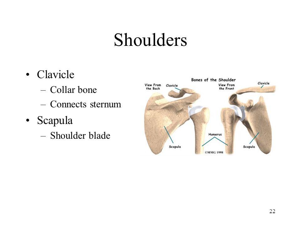 Shoulders Clavicle Collar bone Connects sternum Scapula Shoulder blade