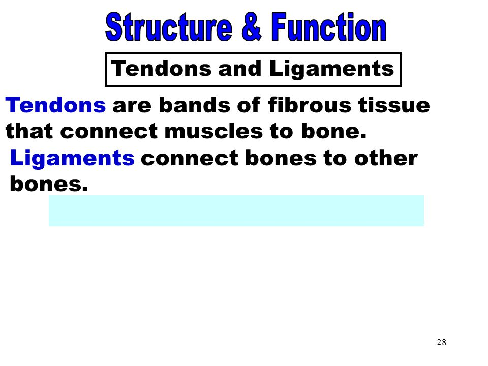 Tendons and Ligaments Structure & Function Tendons and Ligaments