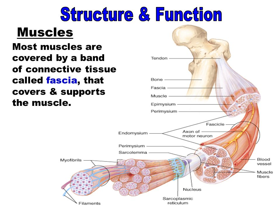 Muscles - Fascia Structure & Function Muscles