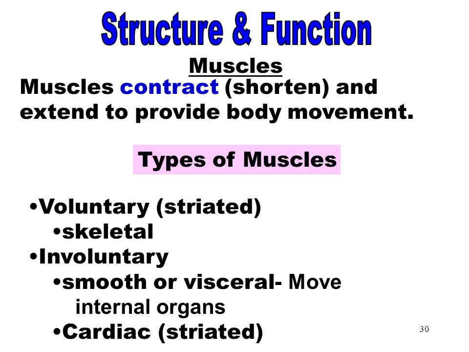 Muscles Structure & Function Muscles