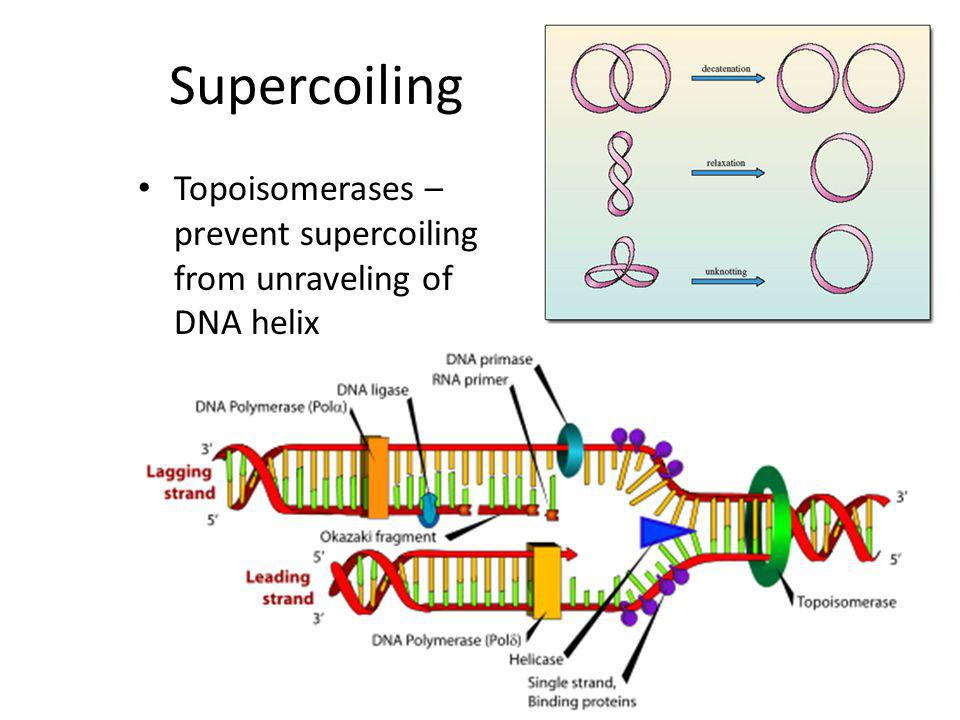 Supercoiling Topoisomerases – prevent supercoiling from unraveling of DNA helix