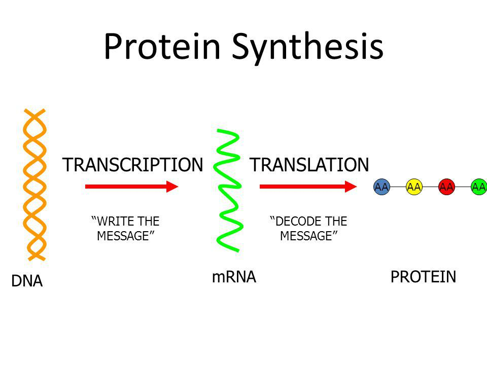 Protein Synthesis TRANSCRIPTION TRANSLATION mRNA PROTEIN DNA AA