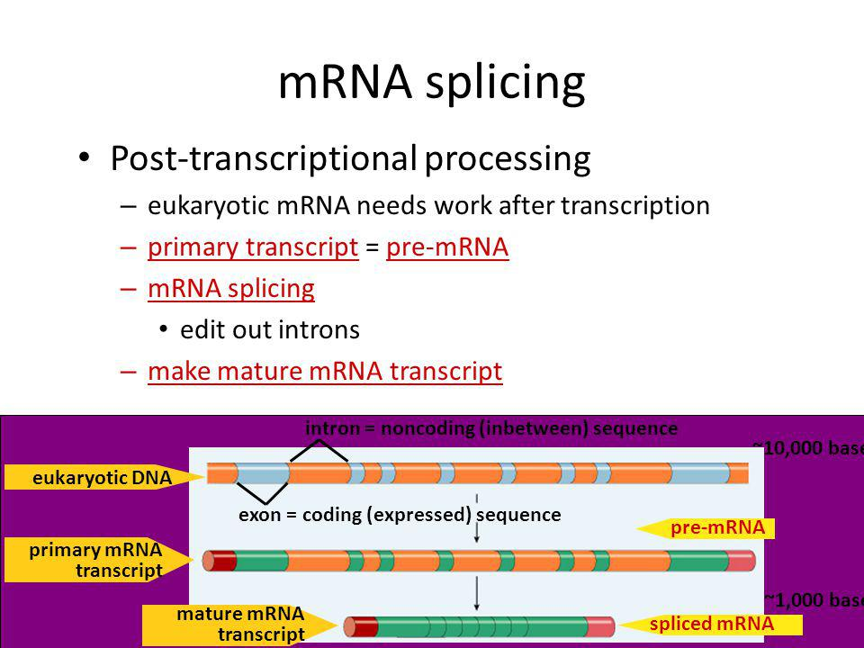 mRNA splicing Post-transcriptional processing