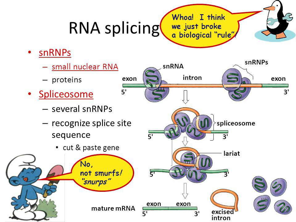 RNA splicing enzymes snRNPs Spliceosome several snRNPs