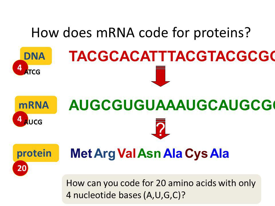 How does mRNA code for proteins