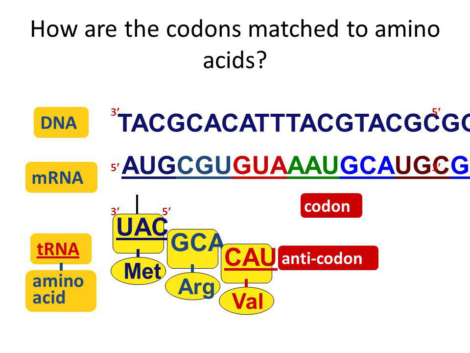 How are the codons matched to amino acids