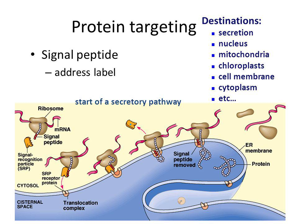 Protein targeting Signal peptide address label Destinations: secretion