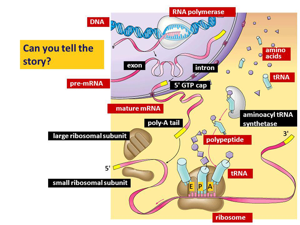 Can you tell the story RNA polymerase DNA amino acids exon intron