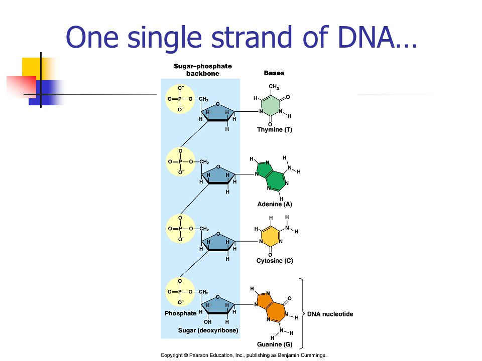 One single strand of DNA…