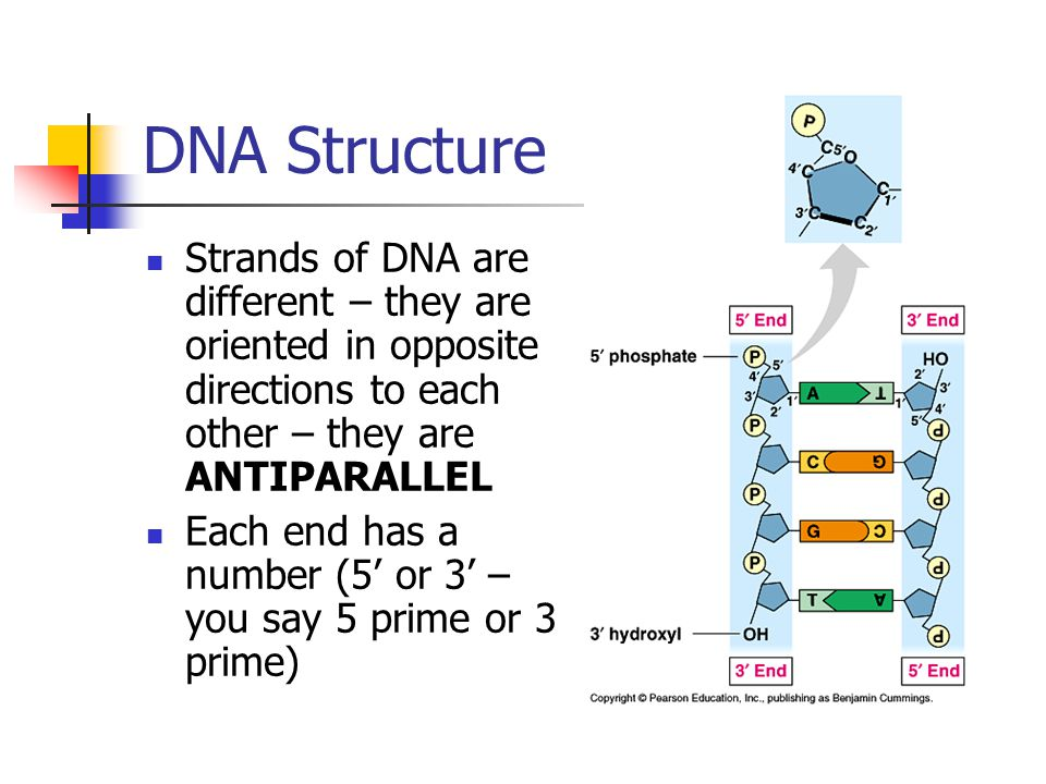 DNA Structure Strands of DNA are different – they are oriented in opposite directions to each other – they are ANTIPARALLEL.