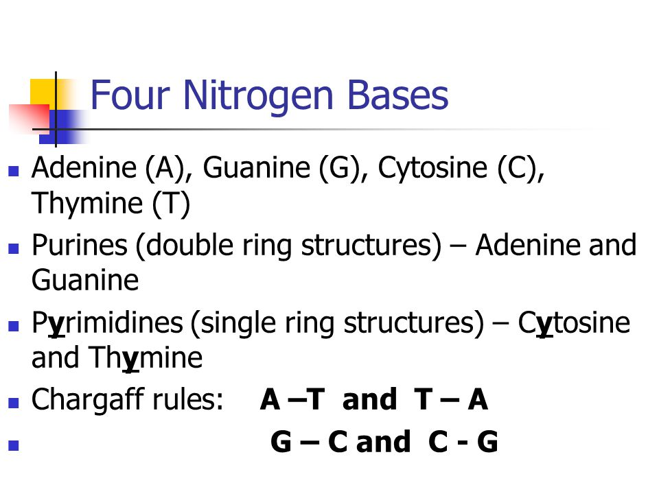 Four Nitrogen Bases Adenine (A), Guanine (G), Cytosine (C), Thymine (T) Purines (double ring structures) – Adenine and Guanine.