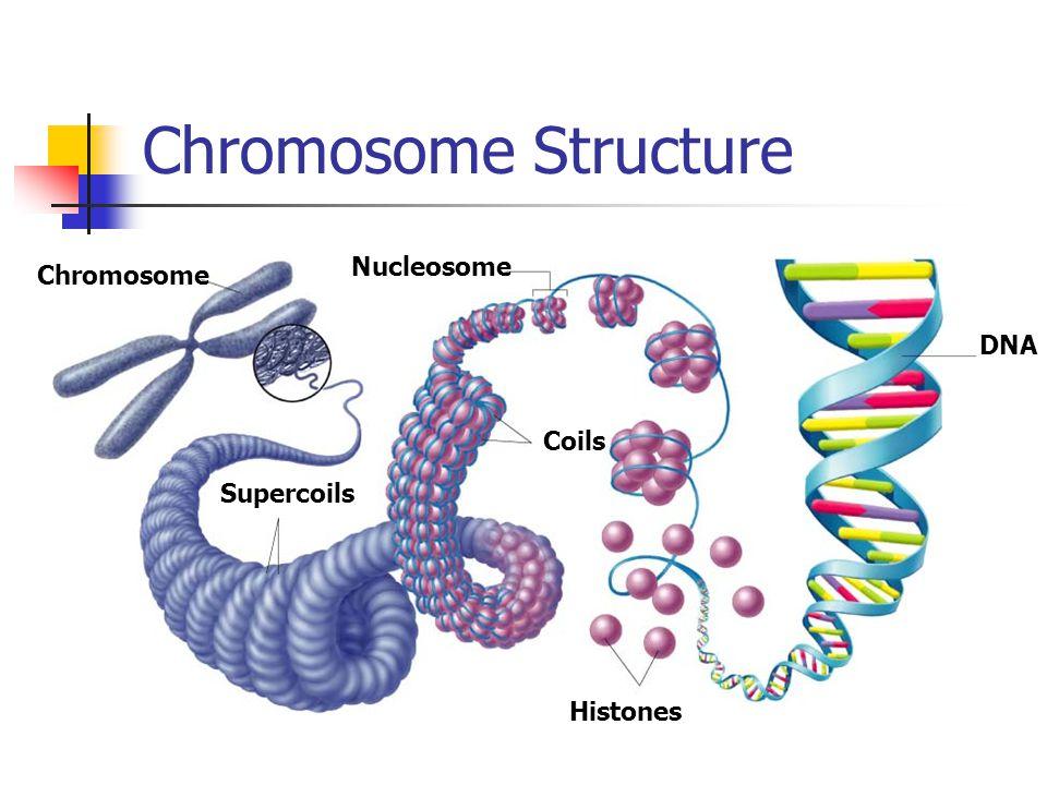 Chromosome+Structure+Nucleosome+Chromosome+DNA+Coils+Supercoils