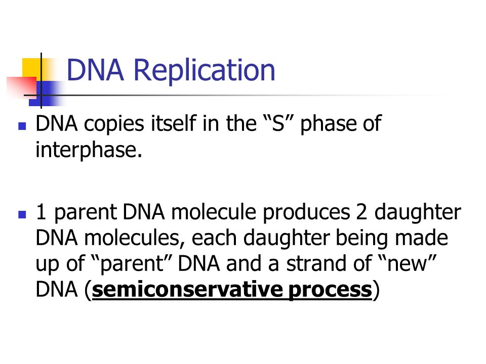 DNA Replication DNA copies itself in the S phase of interphase.