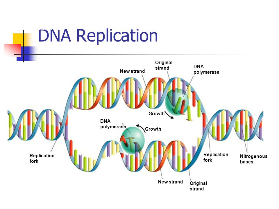 DNA Replication Section 12-2 Original strand New strand Growth