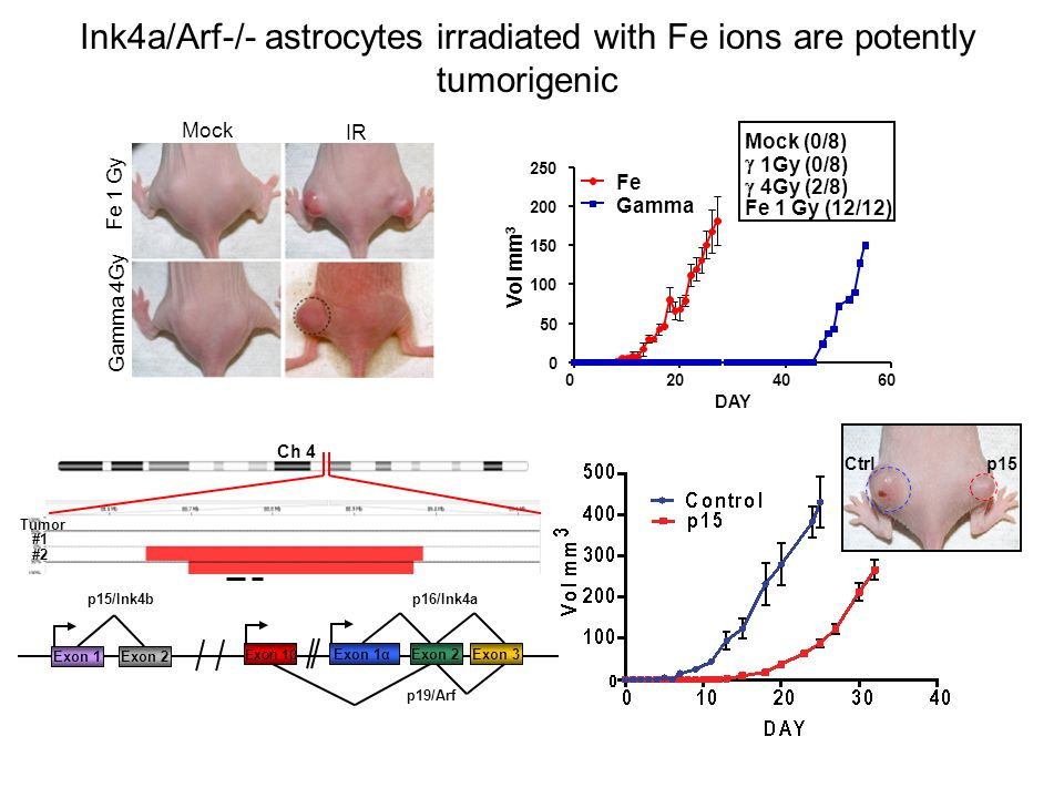 Ink4a/Arf-/- astrocytes irradiated with Fe ions are potently tumorigenic