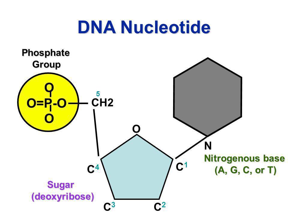 DNA Nucleotide O O=P-O N CH2 O C1 C4 C3 C2 Phosphate Group