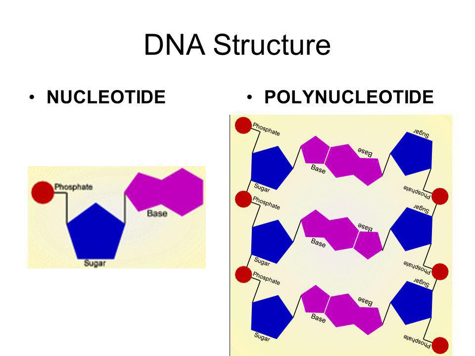 DNA Structure NUCLEOTIDE POLYNUCLEOTIDE