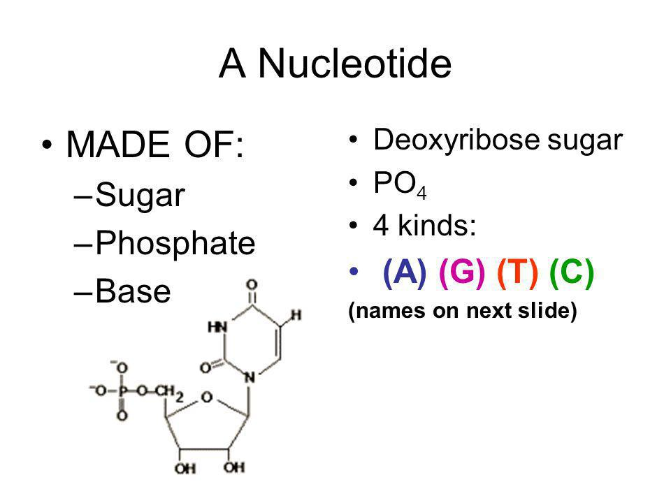 A Nucleotide MADE OF: Sugar Phosphate (A) (G) (T) (C) Base
