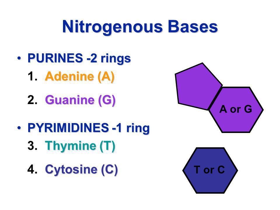 Nitrogenous Bases PURINES -2 rings 1. Adenine (A) 2. Guanine (G)