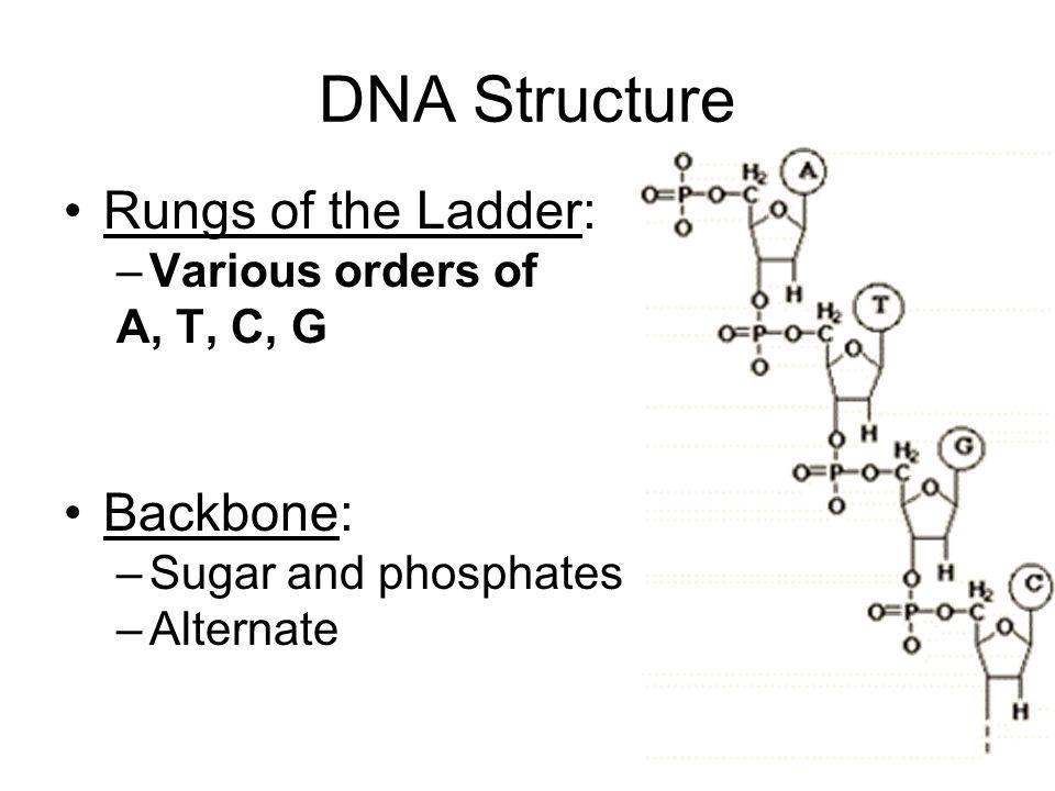 DNA Structure Rungs of the Ladder: Backbone: Various orders of