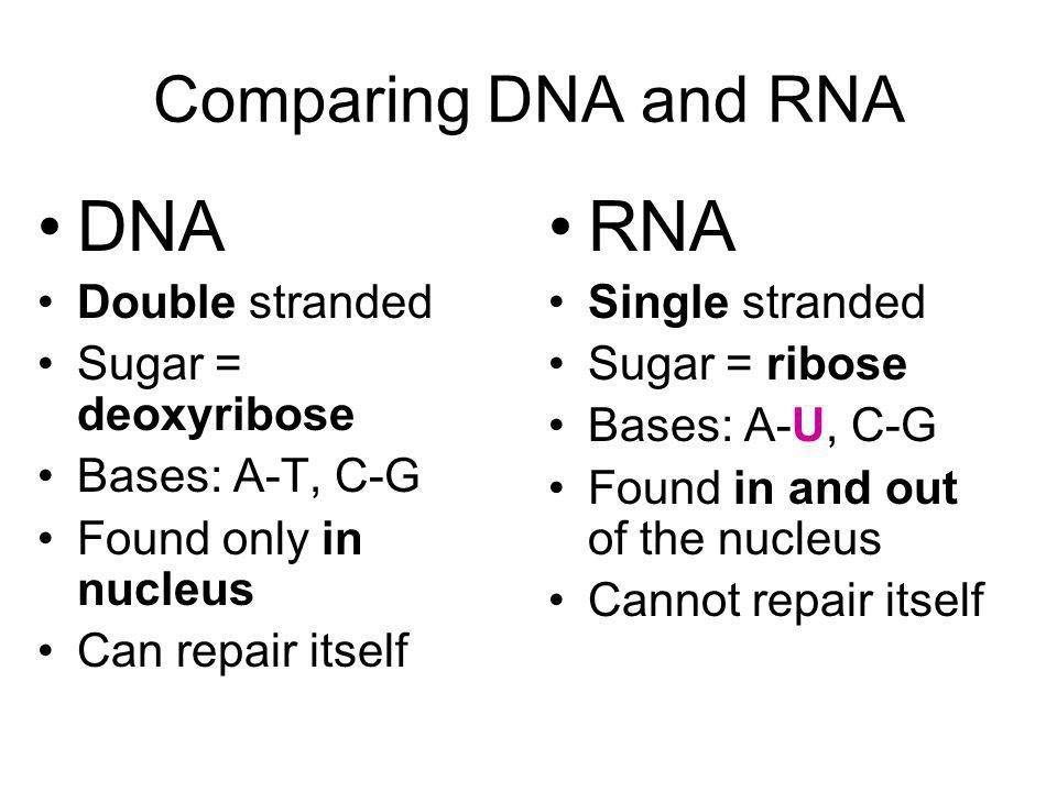 DNA RNA Comparing DNA and RNA Double stranded Sugar = deoxyribose
