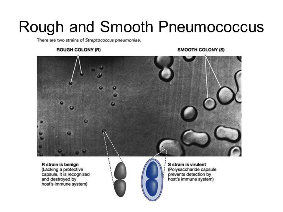 Rough and Smooth Pneumococcus