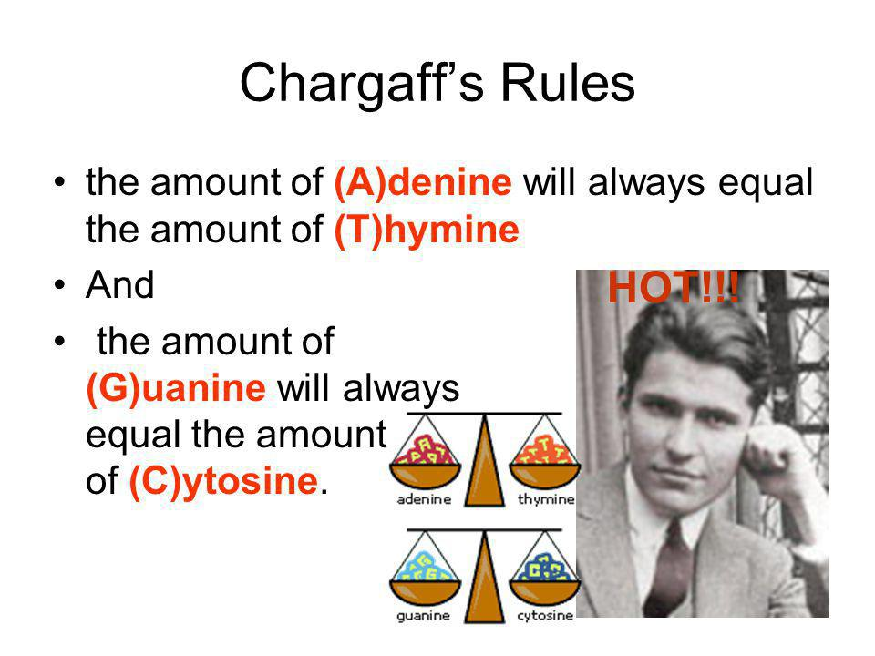 Chargaff's Rules the amount of (A)denine will always equal the amount of (T)hymine. And.