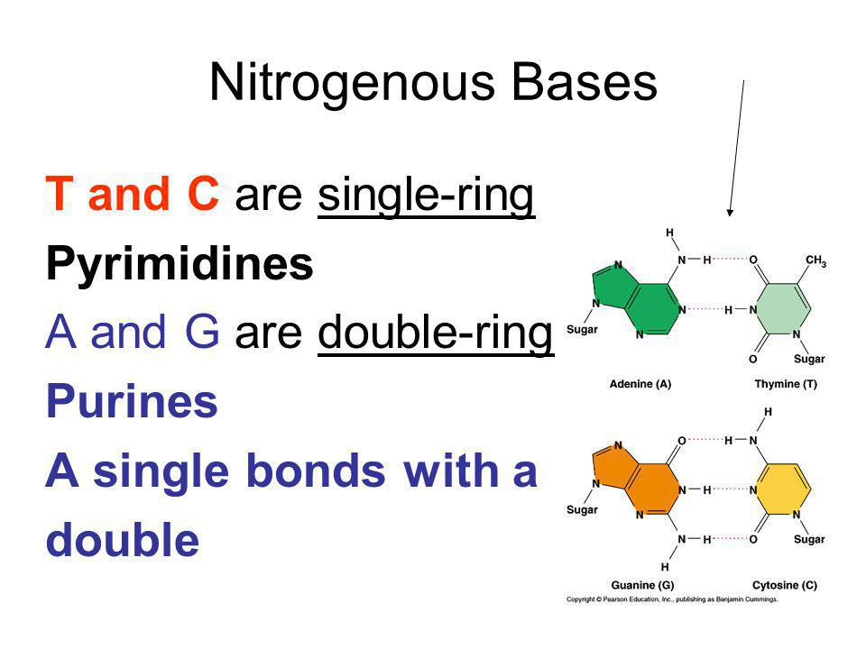 Nitrogenous Bases T and C are single-ring Pyrimidines
