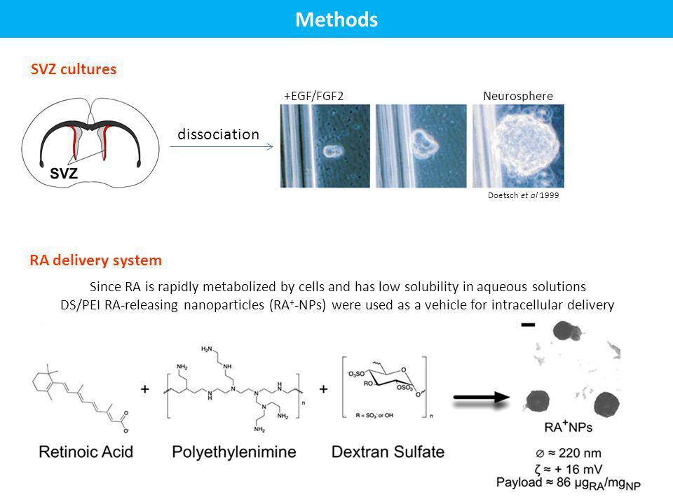 Methods SVZ cultures dissociation RA delivery system