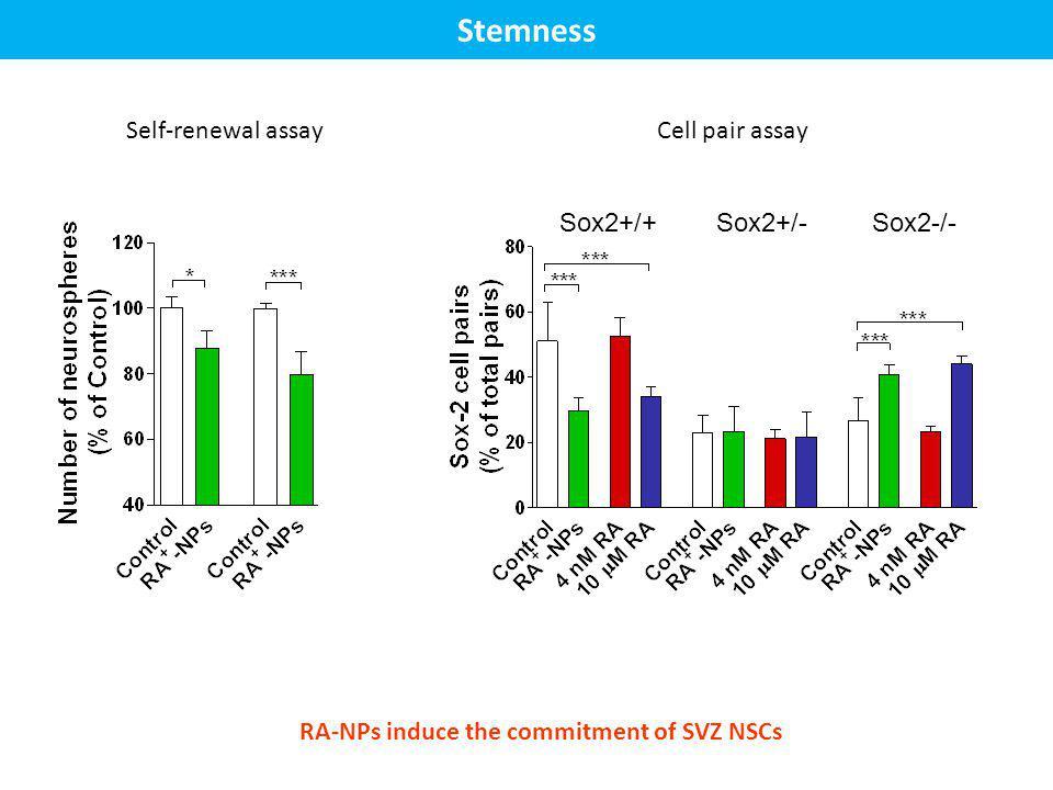 Stemness Self-renewal assay Cell pair assay Sox2+/+ Sox2+/- Sox2-/-