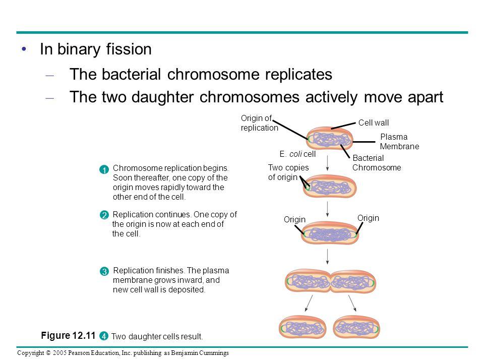 The bacterial chromosome replicates
