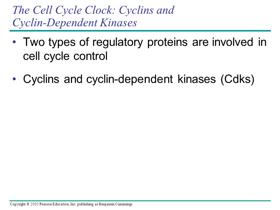 The Cell Cycle Clock: Cyclins and Cyclin-Dependent Kinases