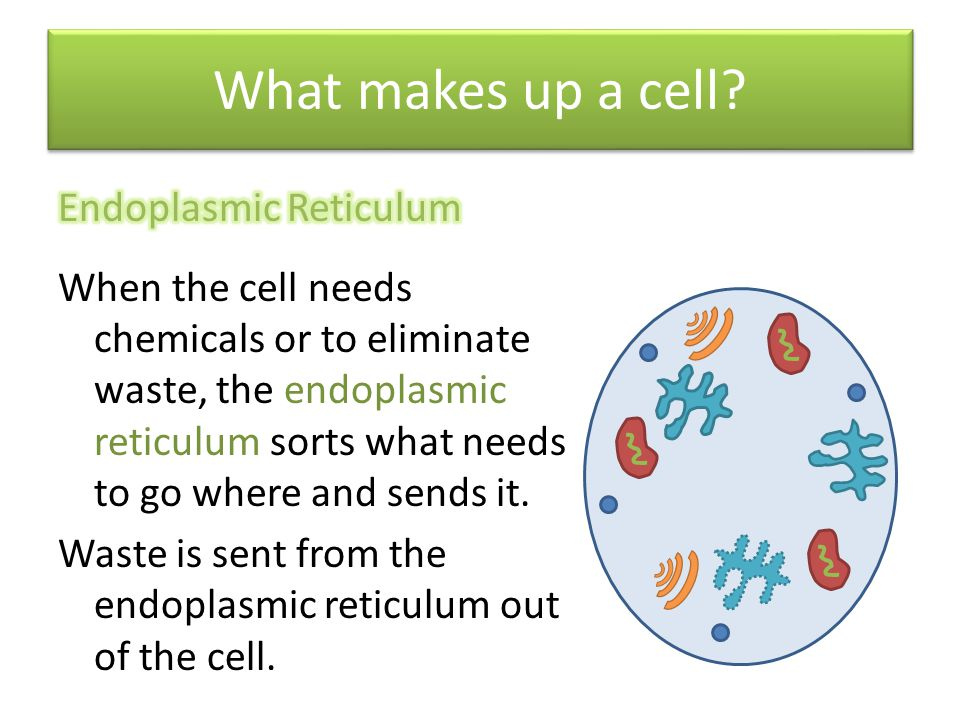 What makes up a cell Endoplasmic Reticulum