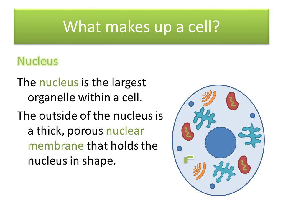 What makes up a cell Nucleus