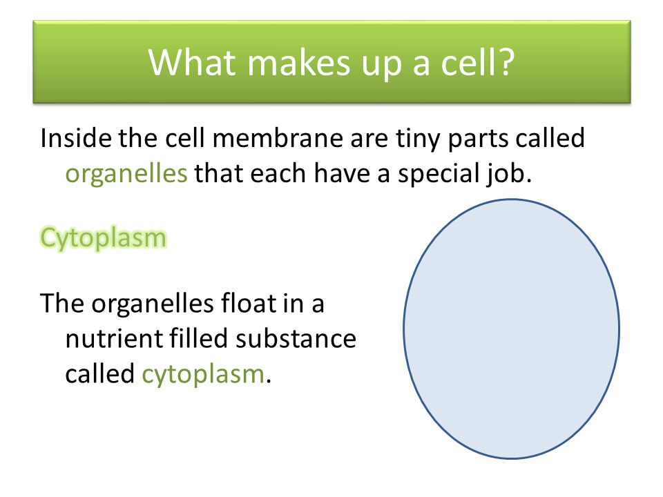 What makes up a cell Inside the cell membrane are tiny parts called organelles that each have a special job.