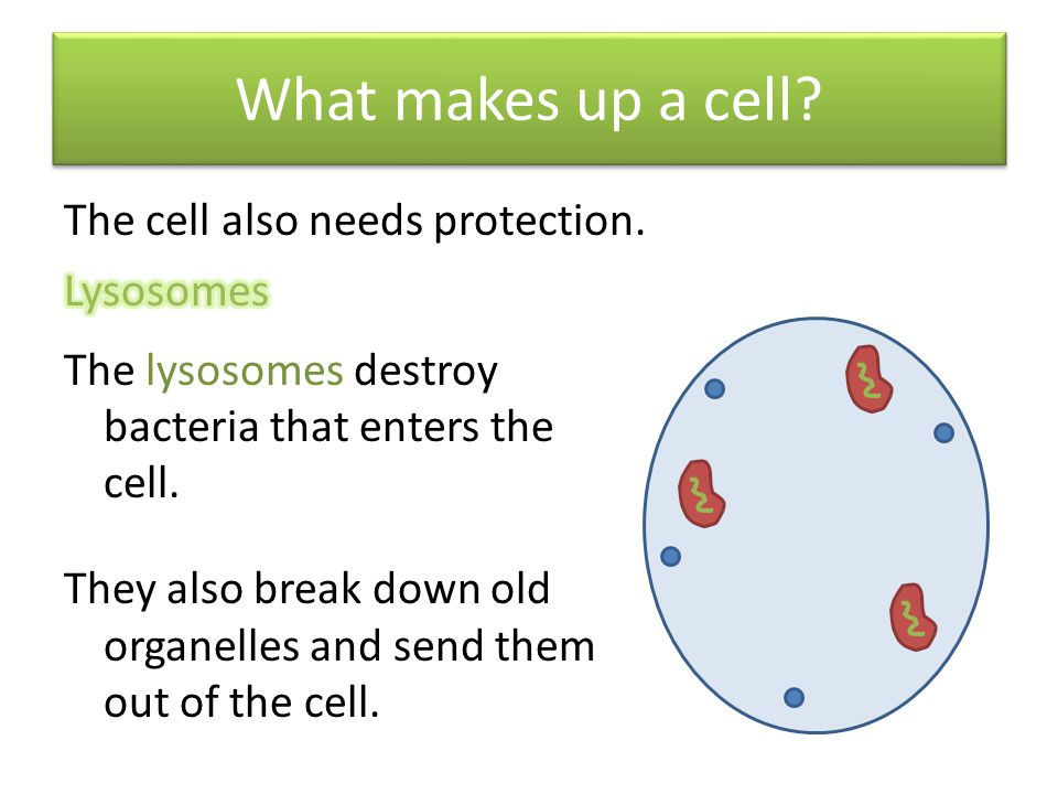 What makes up a cell The cell also needs protection. Lysosomes