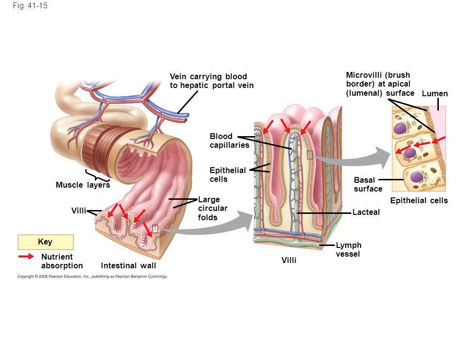 Vein carrying blood to hepatic portal vein