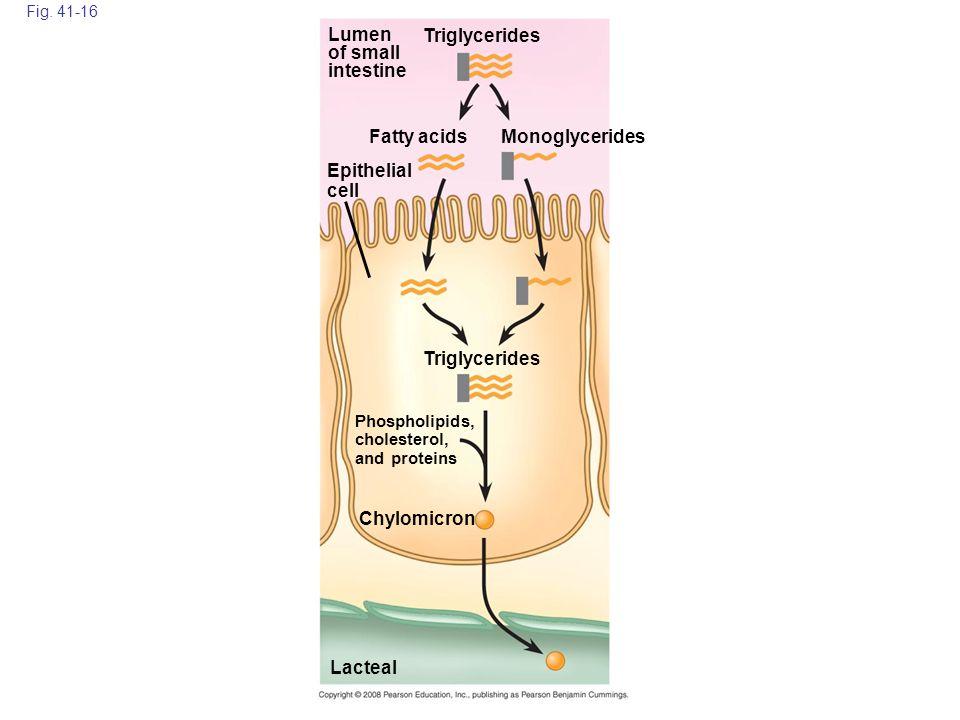 Lumen of small intestine Triglycerides Fatty acids Monoglycerides