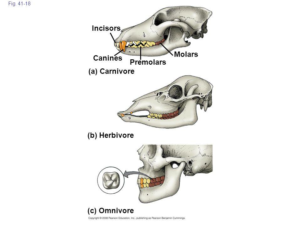Incisors Molars Canines Premolars (a) Carnivore (b) Herbivore