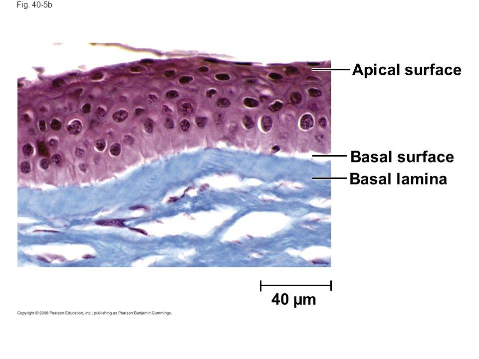 Apical surface Basal surface Basal lamina 40 µm Fig. 40-5b