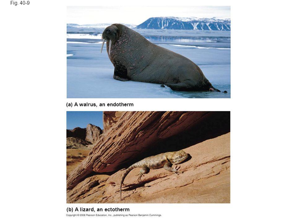 (a) A walrus, an endotherm