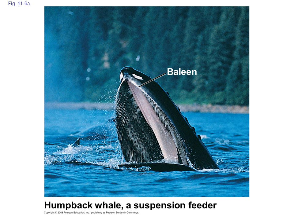 Humpback whale, a suspension feeder