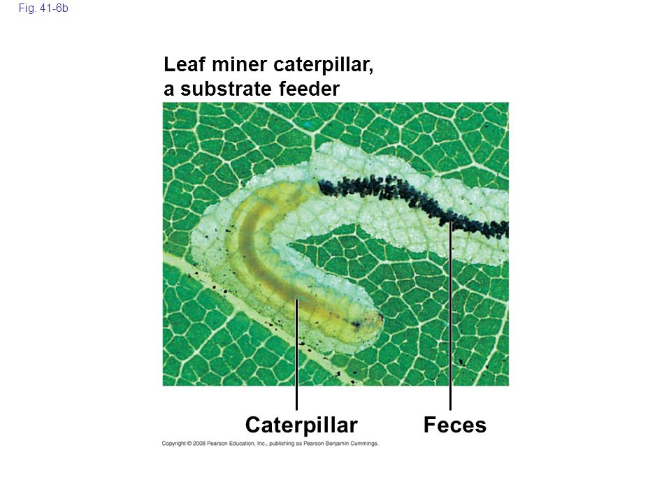Caterpillar Feces Leaf miner caterpillar, a substrate feeder