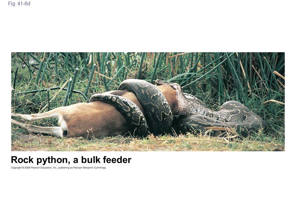 Rock python, a bulk feeder