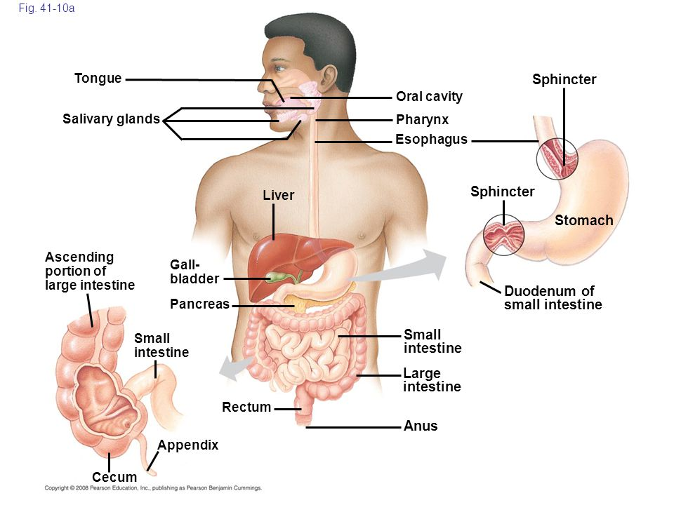 Duodenum of small intestine