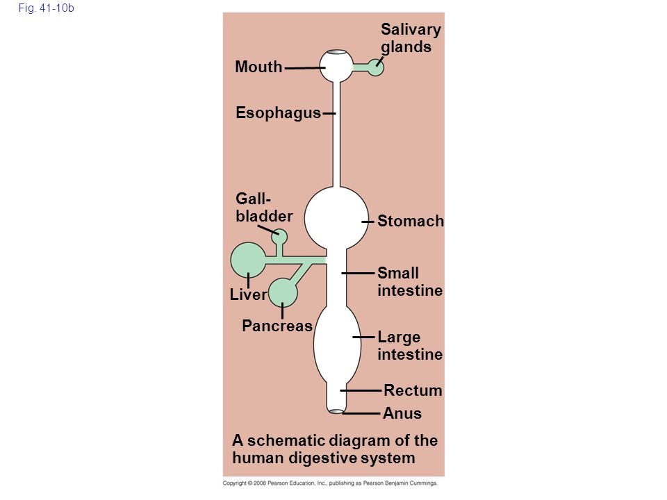 A schematic diagram of the human digestive system
