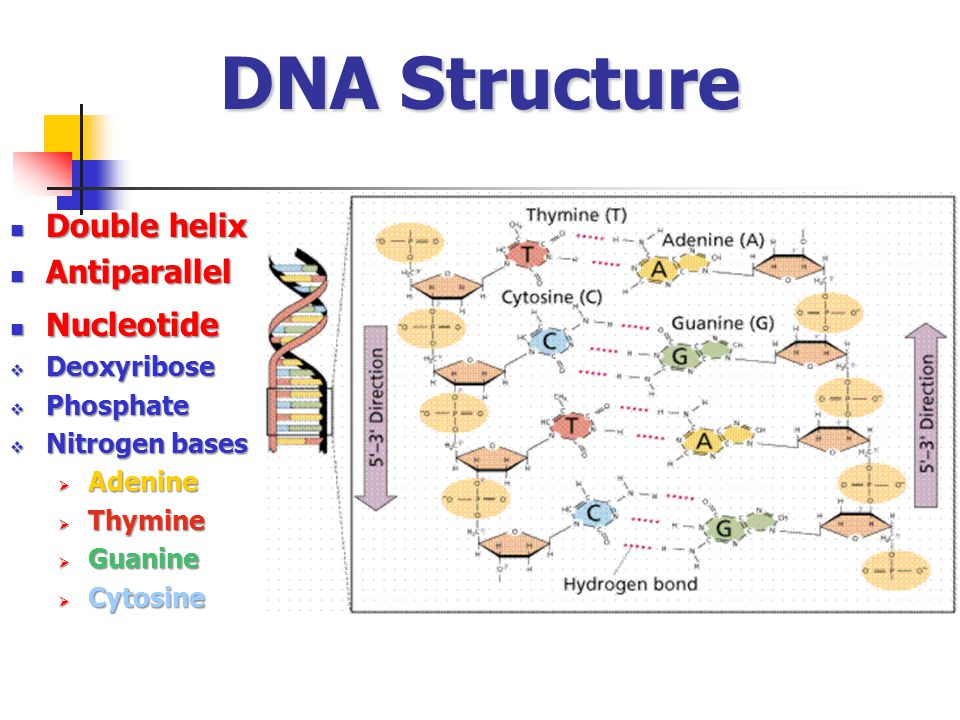 DNA Structure Double helix Antiparallel Nucleotide Deoxyribose