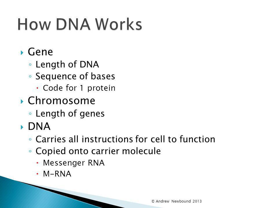How DNA Works Gene Chromosome DNA Length of DNA Sequence of bases